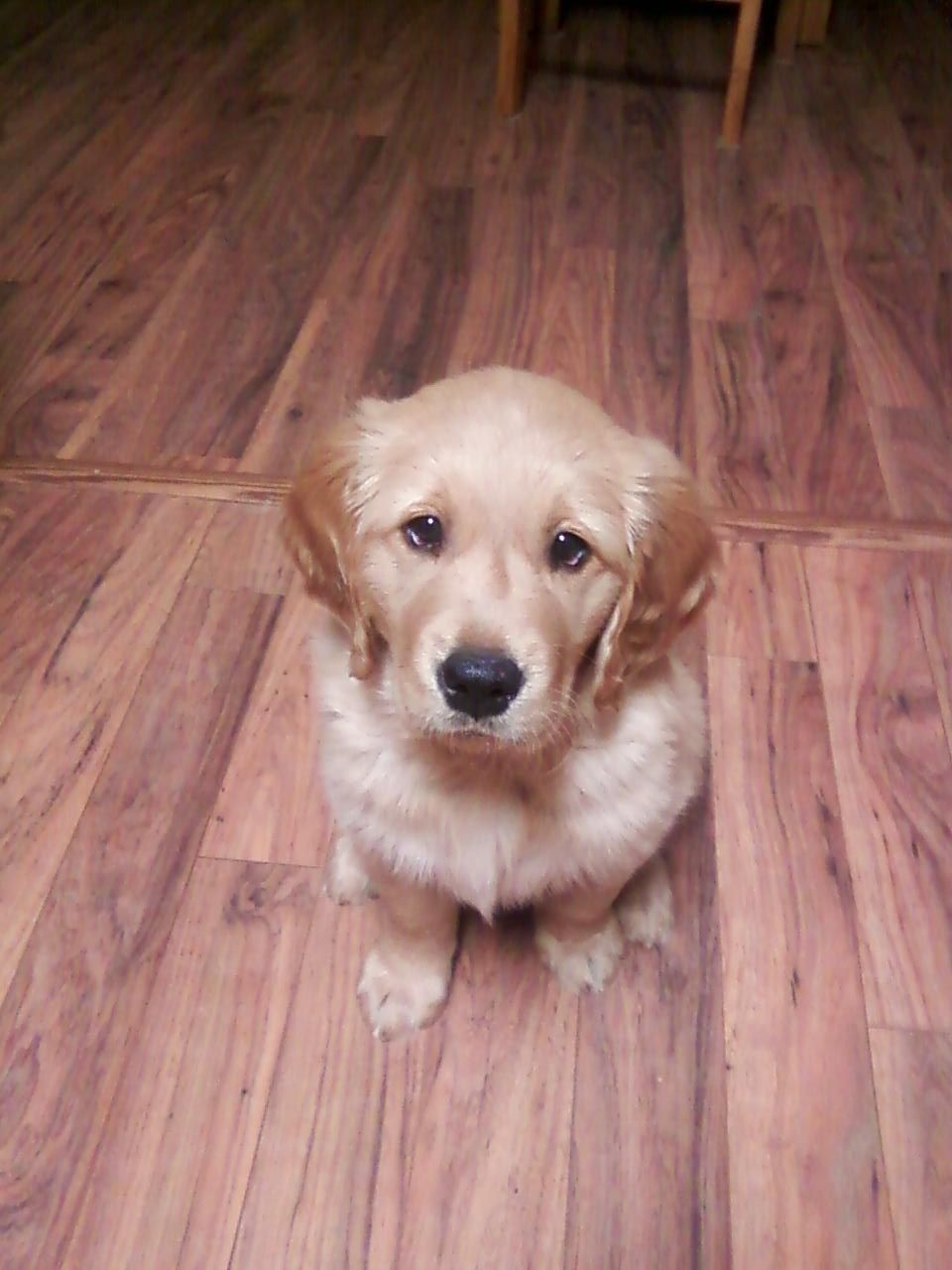 Golden retriever puppy mascotas cachorros perros