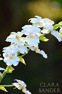 Calanthe hybrid at EYOF - Clara Sander