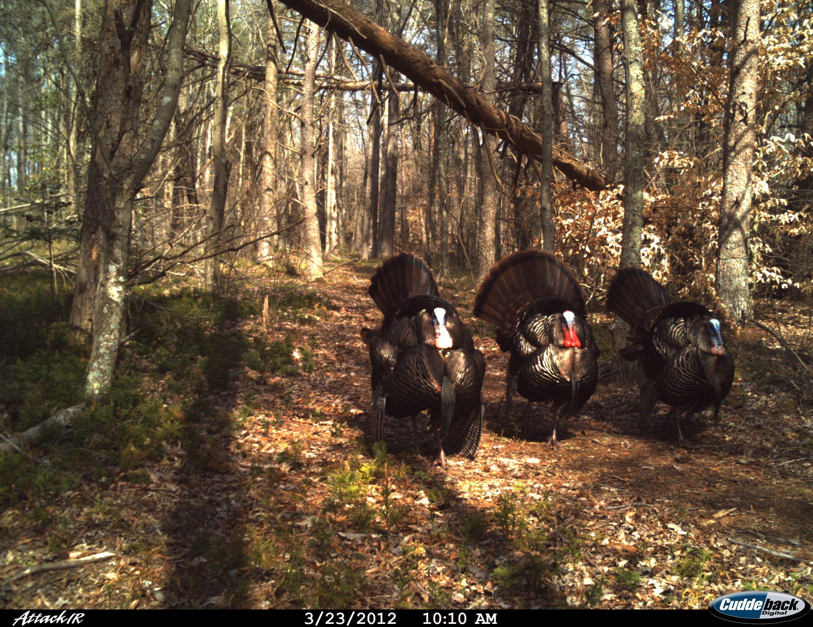 Three Turkeys.