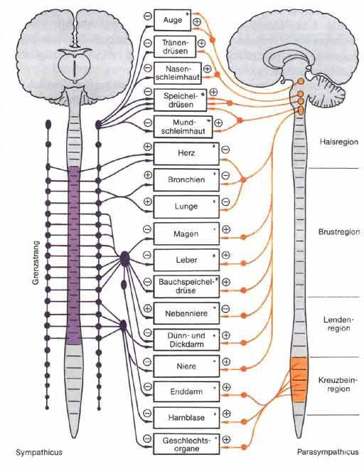 Das vegetative Nervensystem … | Anatomia | Pinte…