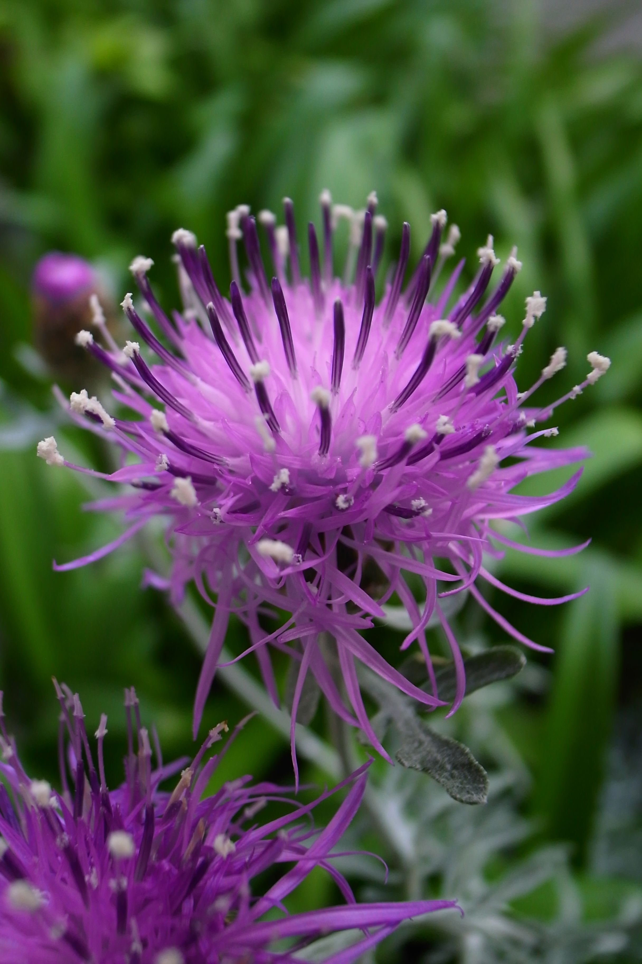 2013 Centaurea Gymnocarpa Purple Plants