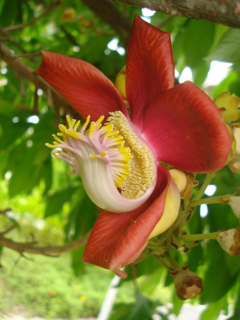 Couroupita guianensis flora flowers and plants