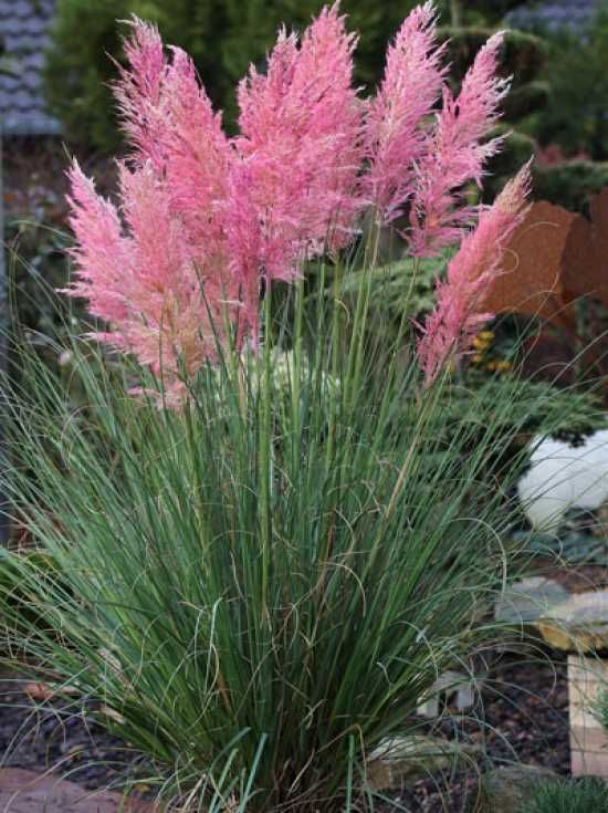 cortaderia selloana 39 rosea 39 rosabl hendes pampasgras bluewhitepink garden. Black Bedroom Furniture Sets. Home Design Ideas