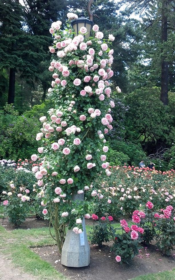 The Portland Rose Garden Star Roses Plants Rose Garden Portland Garden Calendar Climbing Flowers