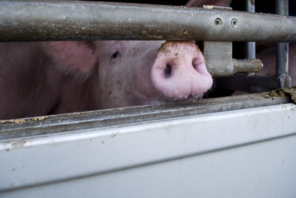 Non crederete mai che tutto questo sia legale | Animal Equality Italia