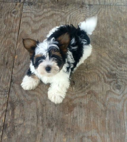 Biewer Yorkshire Rare Breed Dogs Puppies For Rehoming Ottawa Kijiji Pet Halloween Costumes Dog Halloween Costumes