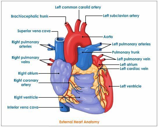 external heart anatomy | Heart anatomy, Heart diagram ...