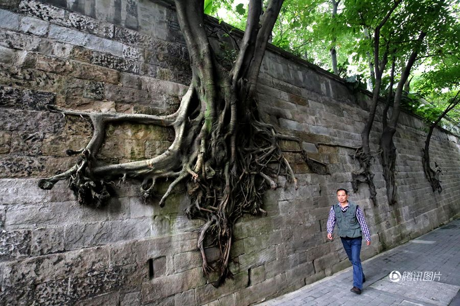 Trees grown from a wall in Chongqing, southern China