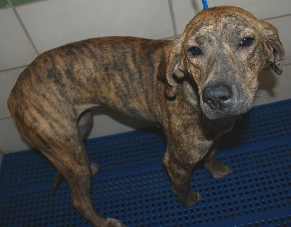 Florida Urgent Specialneeds Id Number D 0222 Is A Young Female Adoptable Plott Hound Mix A Stray Approx 40bs With A Dogs Aggressive Dog Dog Adoption