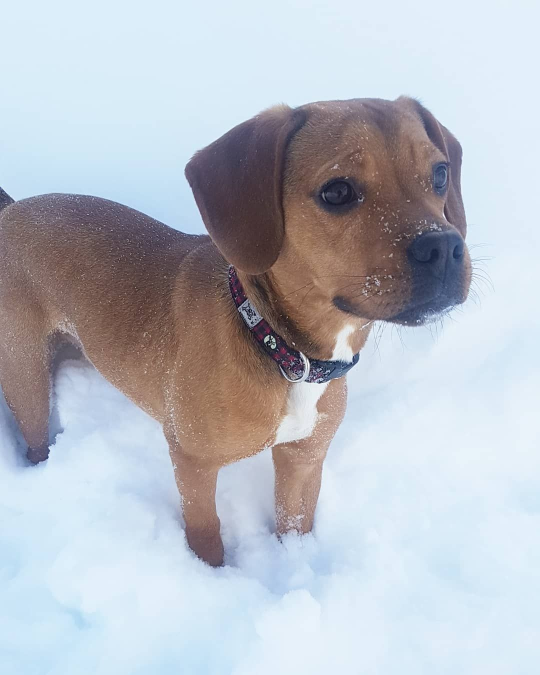 The Frengle A Complete Guide Mixed Breed Puppies Purebred Dogs
