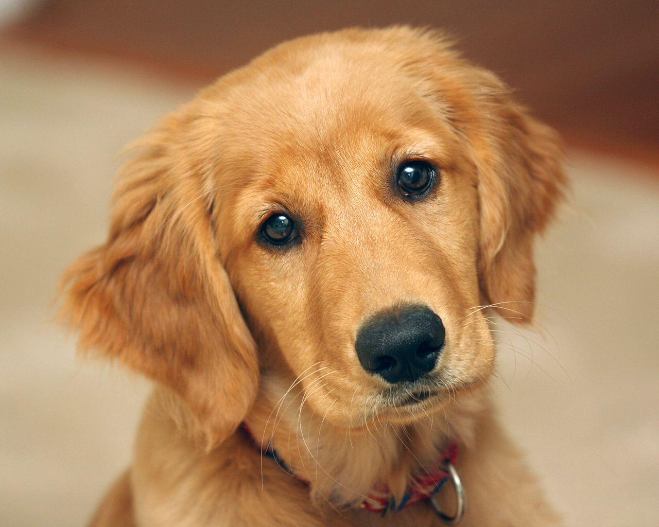 Puppy Dog Eyes Retriever Puppy Golden Retriever Puppy Dogs