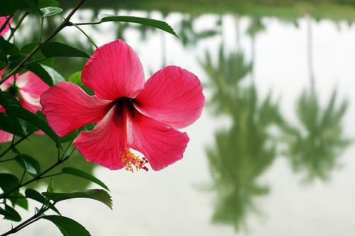 Hibiscus Or Jaba Hibiscus Planting Flowers Flowers