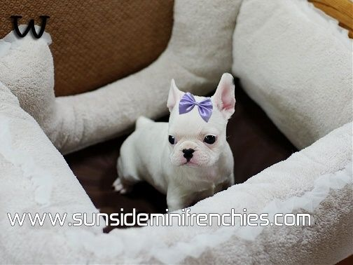 French Bulldog Puppies For Sale French Bulldogs Puppies For Sale