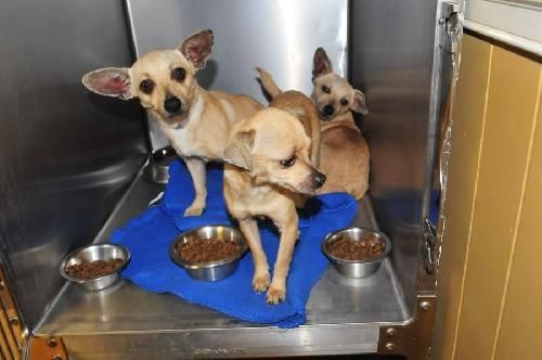 Adopt Crackle On Small Dog Adoption Chihuahua Dogs