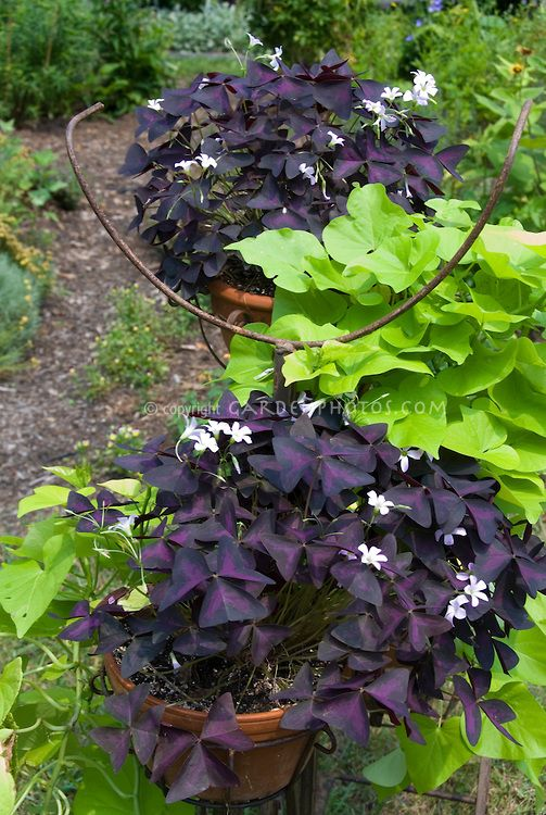 Sweet Potato Vine Caroline Green With Oxalis Triangularis Plant Flower Stock Photography Gardenphotos