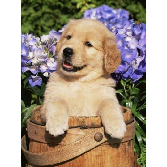 Golden Retriever Facts 10 Of 10 Cost Of Having A Dog If You Own A