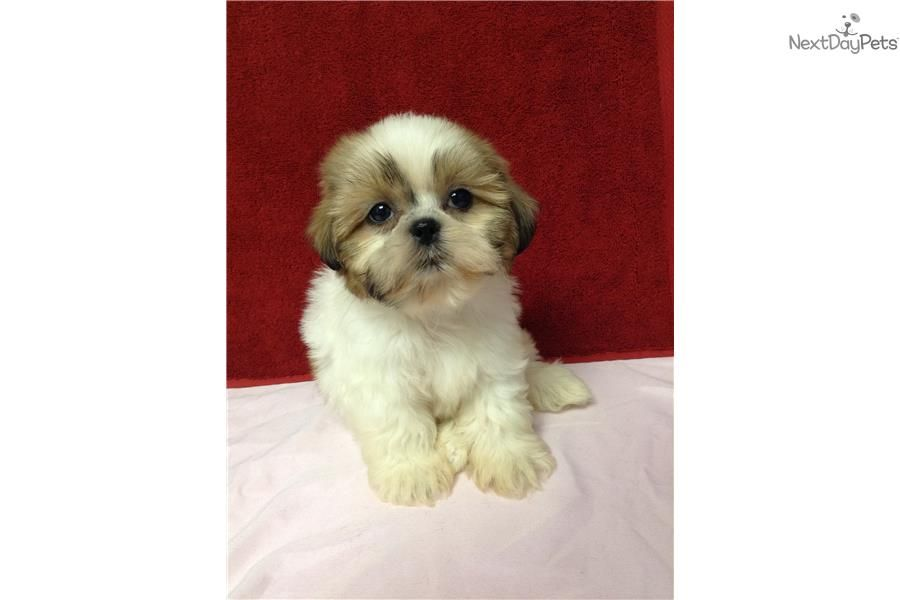 Female Shih Tzu Puppy Shih Tzu Puppy Shih Tzu Puppies