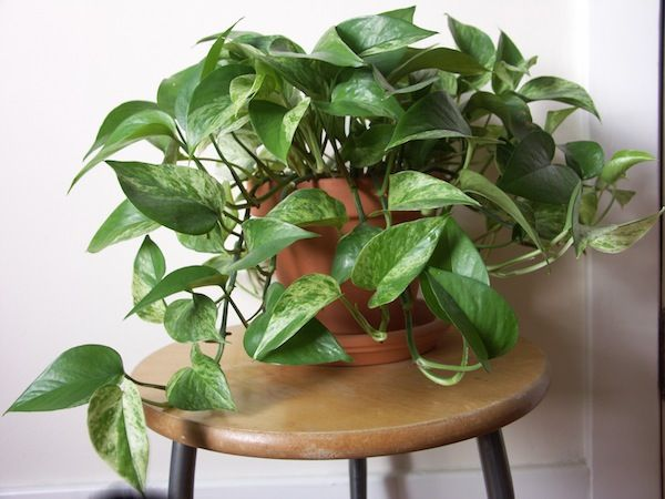 15 Best Houseplants For Beginners | Golden pothos, Houseplant and ...