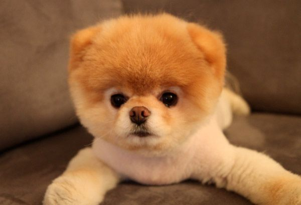 Puffy Puppy Boo The Dog Boo The Cutest Dog Animal Lover