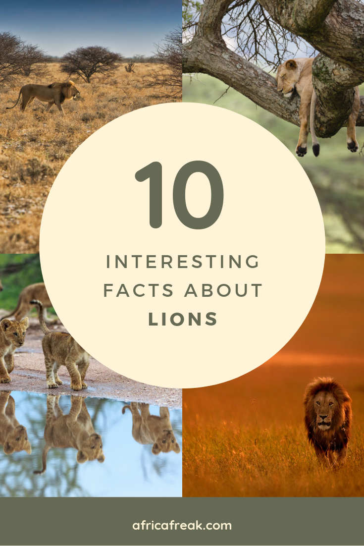 10 Interesting Facts About Lions Some Might Surprise You Fun
