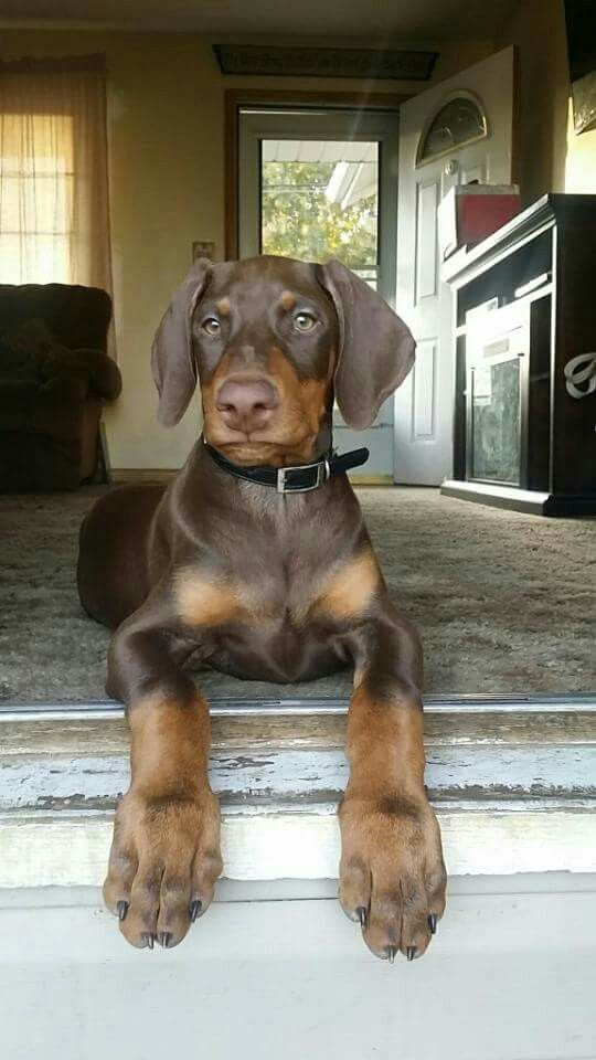 Dog Sitter Hired On Craigslist Sells Woman S Dogs Doberman Puppy