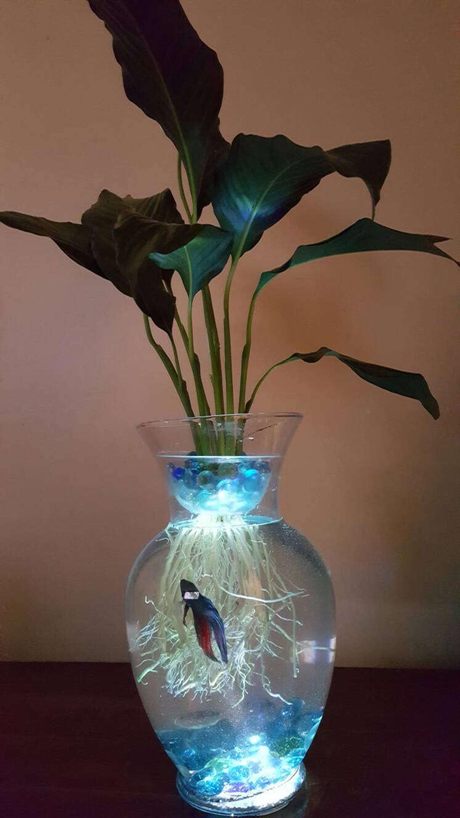 Piante Da Appartamento Per Acquario.Beta Fish Tank With Live Peace Lily Lighted Symbiotic And