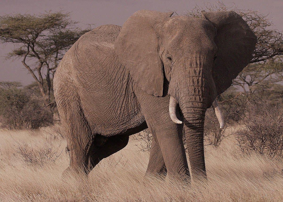 Nama Hewan Dari Huruf G Gajah afrika
