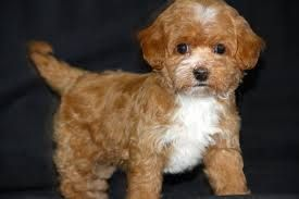 Image Result For Brown Teacup Maltipoo Full Grown Maltipoo Puppy