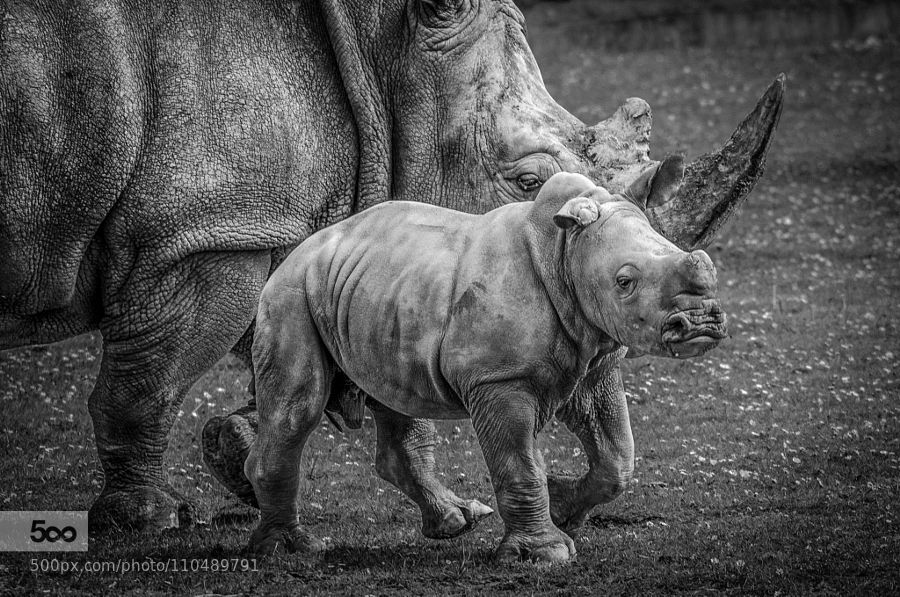 Rhino with calf by AndyHam