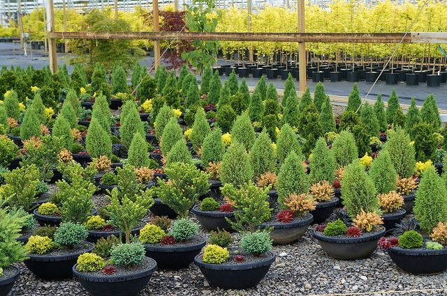 Iseli Nursery Preplated Container Gardens With Conifers Flickr Photo Sharing