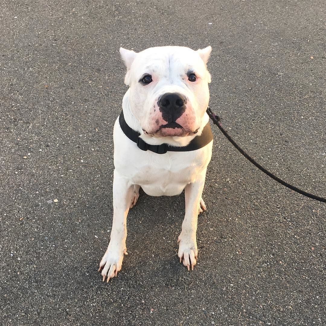 """Dogo Argentino """"Casper"""" just enrolled with Bay Area K9 ..."""