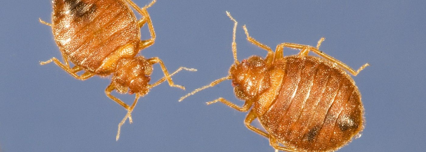 Five Ways to Stop Bedbugs Before They Bite Bed bugs, Bed