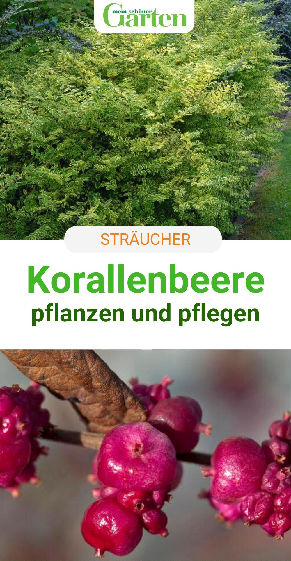 Korallenbeere Robustes Ziergeholz Beeren Pflanzen Ziergeholze