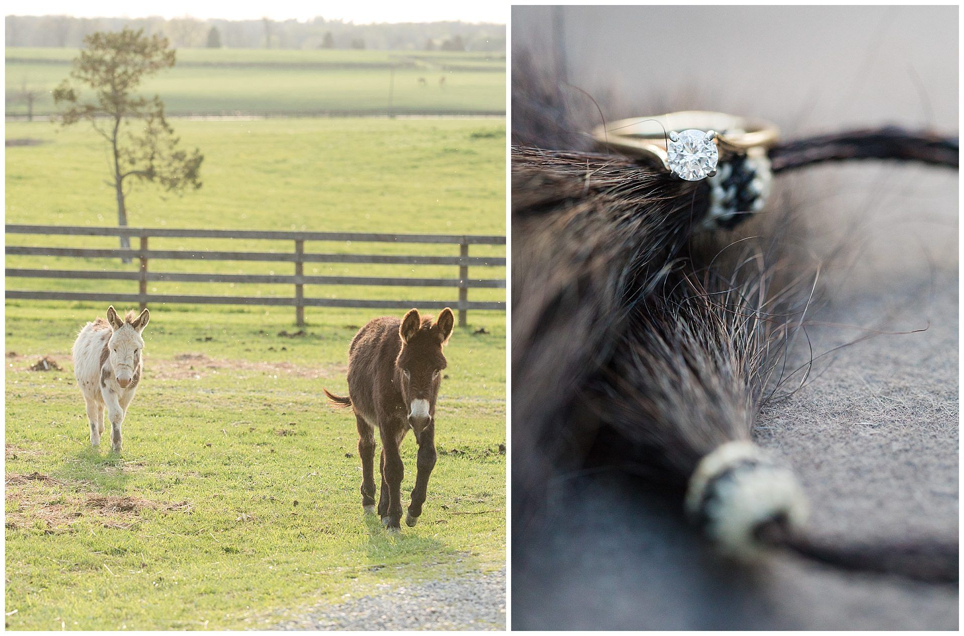 Spring Engagement Session On A Horse Farm in Lexington, KY. Kentucky Wedding Photographer, Lexington Kentucky Wedding Photographer, Farm Engagement, Cowboy Engagement, Horse Farm, Romantic, Donkeys, Ring, Diamond, Engagement Ring. Kevin and Anna Photography www.kevinandannaweddings.com