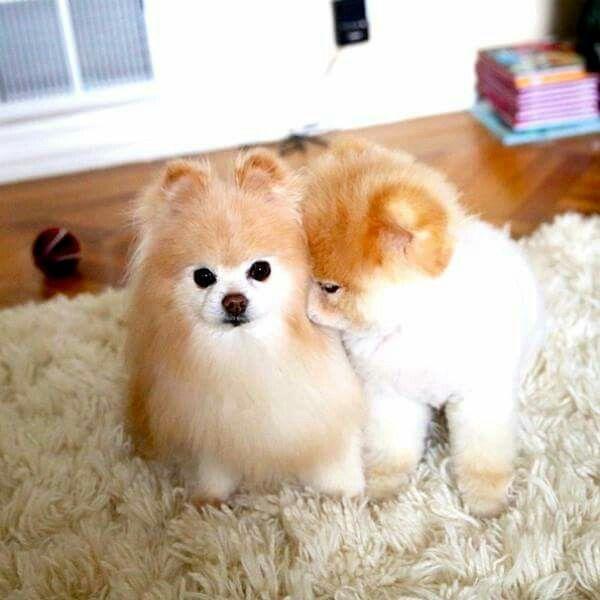 Buddyboowaggytails Boo The Dog Cute Animals Cute Baby Animals