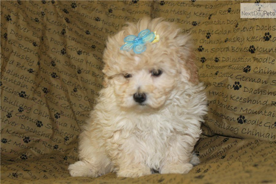 Malti Poo - Maltipoo Puppy for Sale: Maltipoo puppies