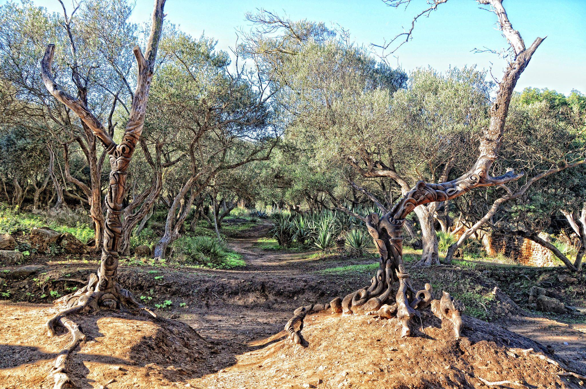 The old olive trees (Tipaza, Algeria) null