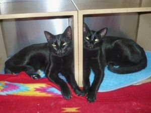 Bert is an adoptable American Shorthair Cat in Blairsville, GA. Bert is having a ball with his brother Ernie. These little guys were pulled out of a feral cat colony in the nick of time! They are play...