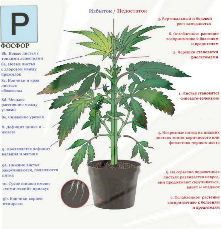 Листья конопли для лечения отличие анаши от марихуаны