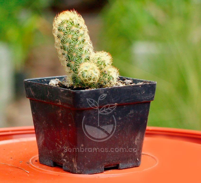 Planta Cactus Aimar Venta De Plantas Plantas Cuidado De Cactus
