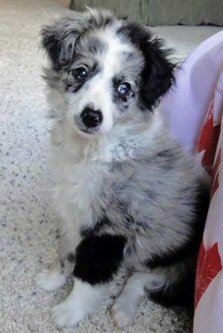 Scout The Australian Shepherd Mix I Want This Dog Australian