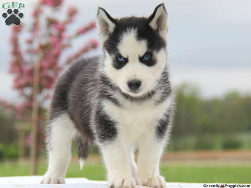 Husky Puppies For Sale Mississippi Husky Puppies For Sale Husky