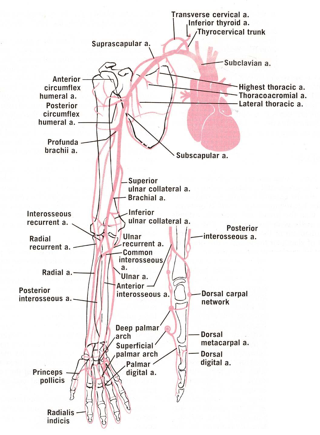 Arteries Of The Upper Limb Anatomymedical Stuff Anatomy Upper