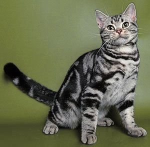 American shorthair cats for sale south africa