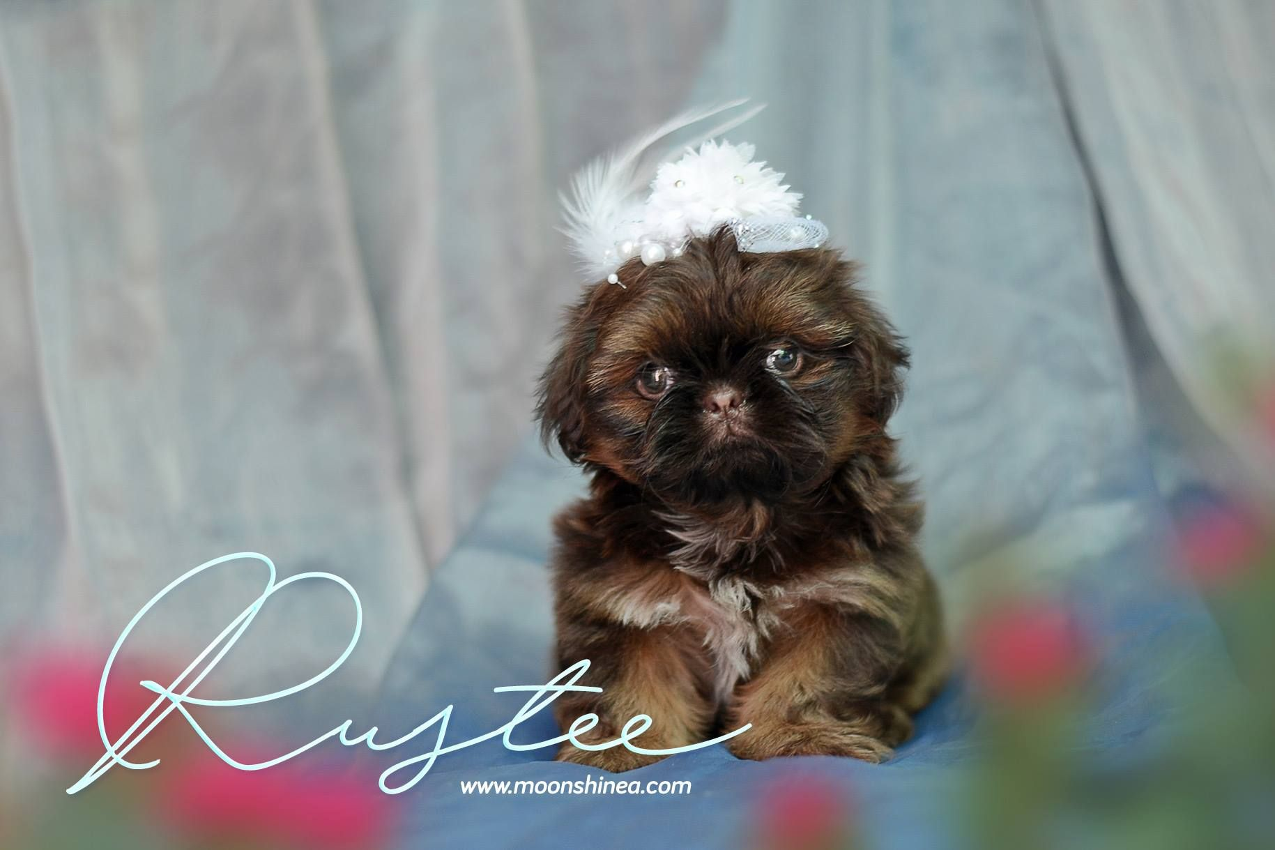 Doll Face Imperial Shih Tzu Philippines Imperial Shih Tzu Shih Tzu Shih Tzu Puppy