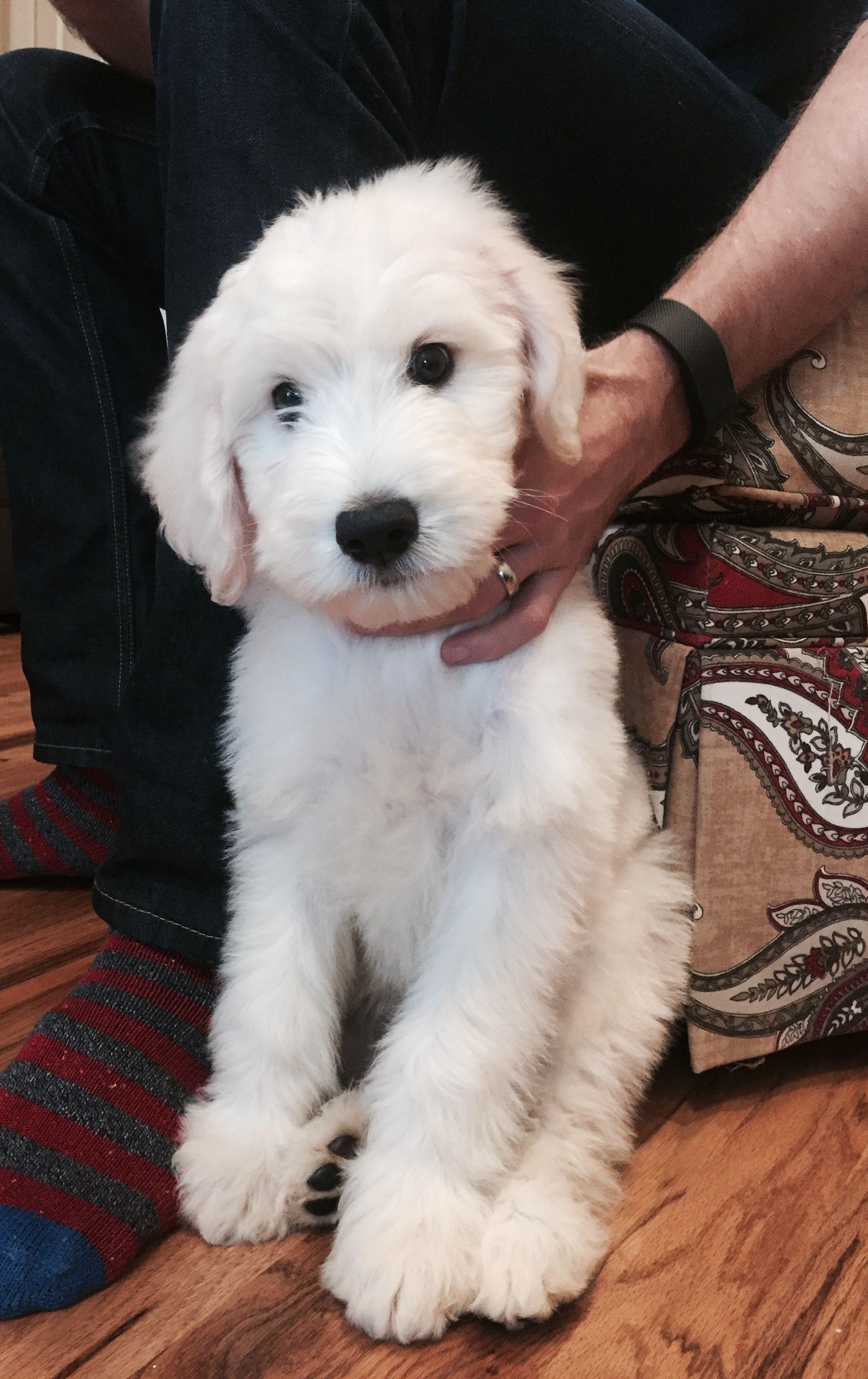 Finn The English Golden Doodle Puppy Doodle Dog Doodle Dog Breeds Doodle Puppy
