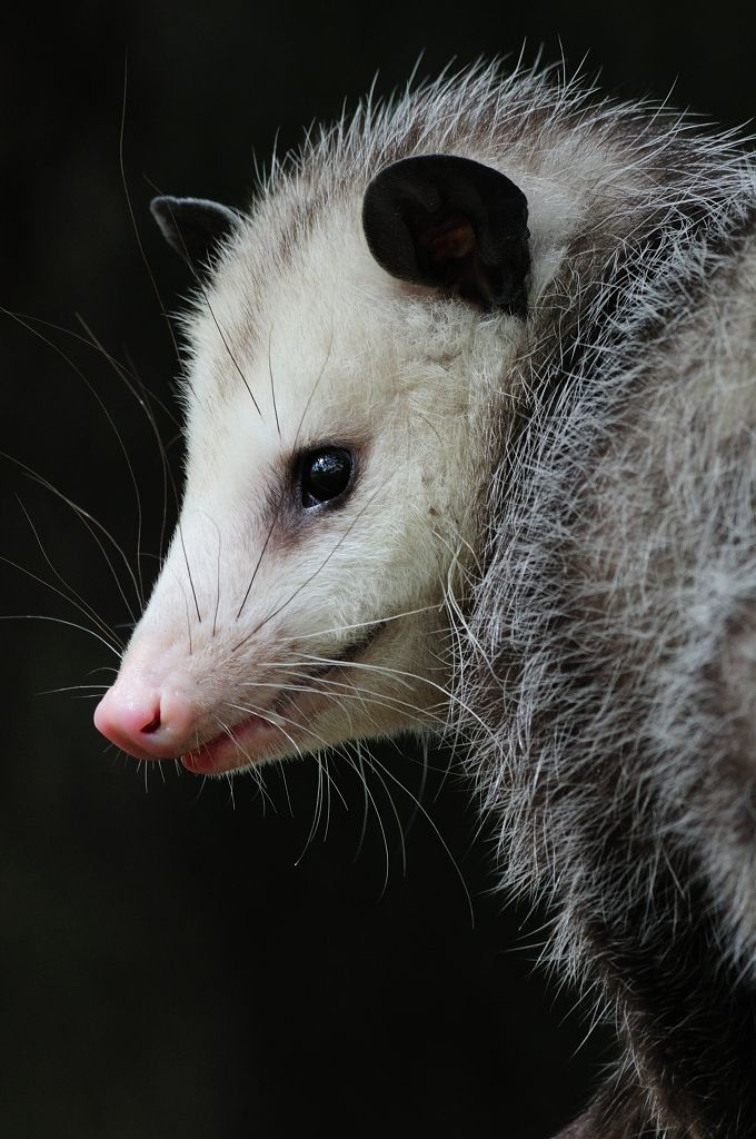 """Rapunzel"" opossum opossums are creatures with which"