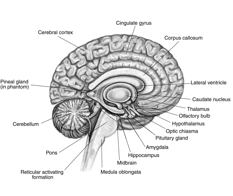 Brain Map | Brain parts and functions, Brain diagram ...