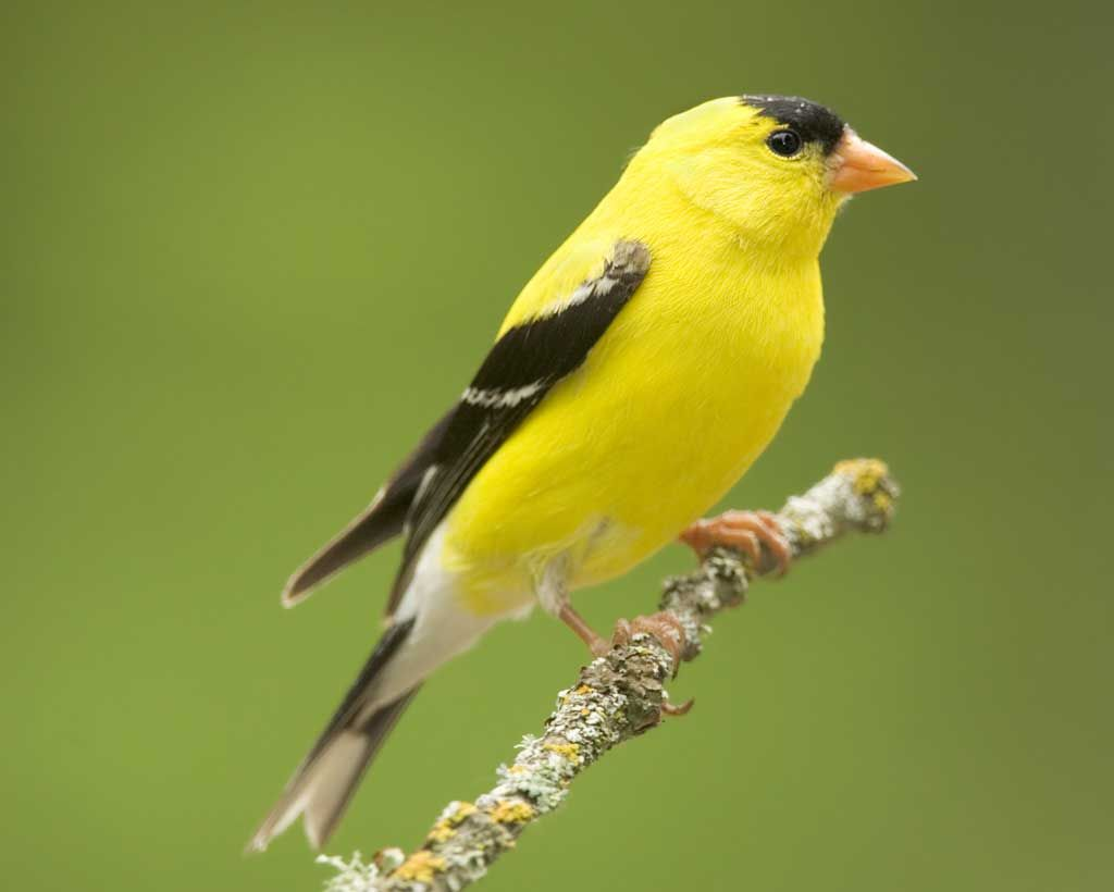 american goldfinch audubon field guide backyard birds