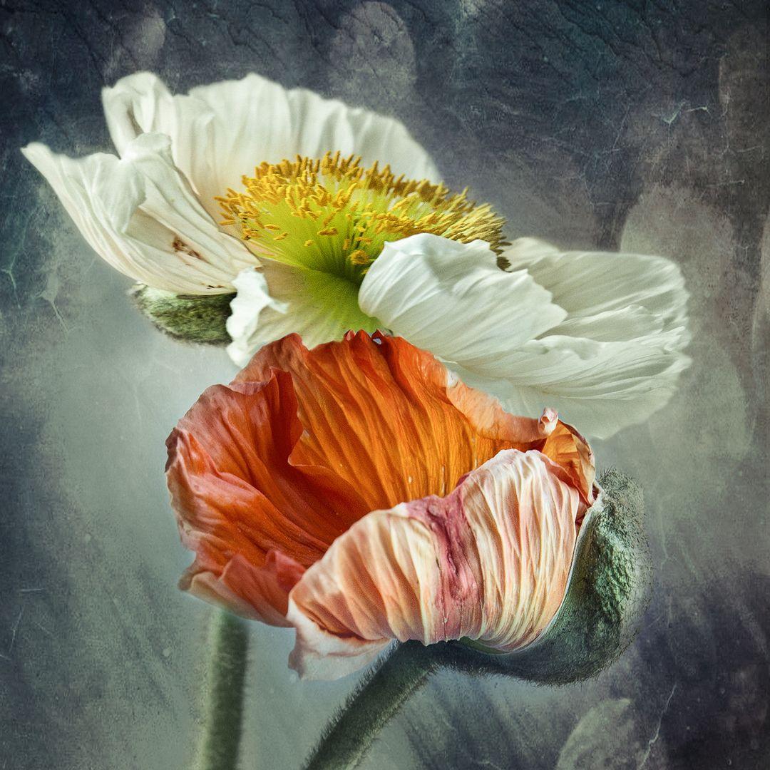 Mohn Bild Pfingstrosen Malerei Mohnblumen Kunst Wie Man Blumen Malt